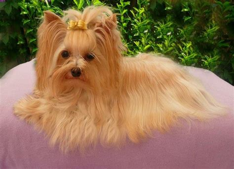 different color yorkies biro yorkie history buckmar terriers