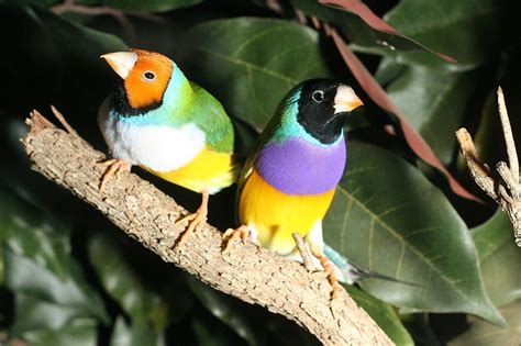 Gould Amadine gouldian finches finch birds
