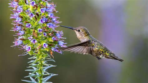 how fast do hummingbirds fly reference com