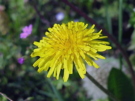 ricette con fiori di tarassaco ricette con i fiori la frittata ai fiori di tarassaco o