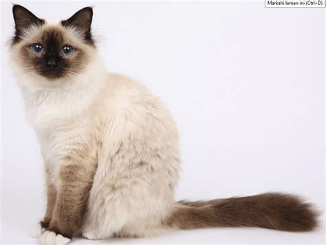 Harga Perlengkapan Untuk Memelihara Kucing by Harga Gambar Kucing Parsi Daftar Harga Kucing Birman