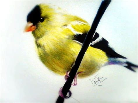 gold finch drawing by desire doecette