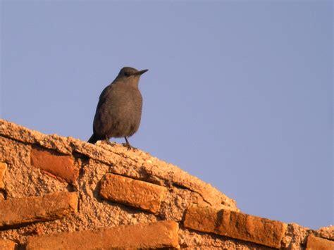 alimentazione passero passero solitario