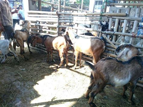 Jual Beli jual beli kambing dengan harga murah daging kambing