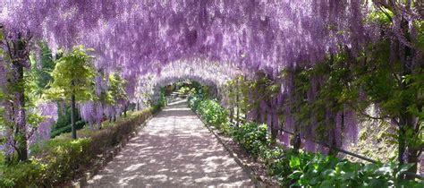 giardini in fiore visita al glicine in fiore al giardino bardini