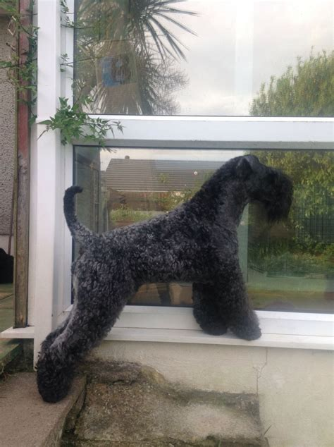 kerry blue terrier puppies for sale kerry blue terrier puppies for sale callington cornwall pets4homes