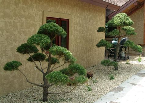 real topiary trees for sale live topiary trees real scotch pine and white pine