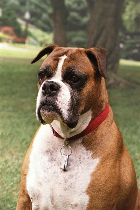 boxer puppy pics boxer pictures photograph boxer description
