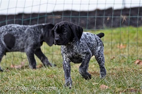 black german shorthaired pointer puppies german shorthaired pointer black roan www pixshark images galleries with a bite