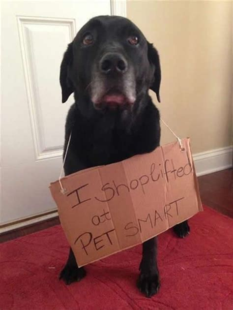 pug confessions sweatshirt 17 best ideas about shaming on shaming pics and