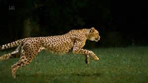 Jaguars Running Related Keywords Suggestions For Jaguar Animal Running