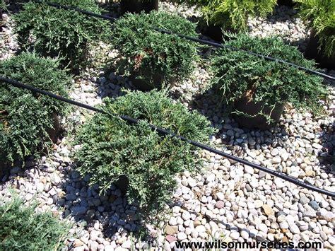 rug juniper blue rug spreading juniper wilson nurseries