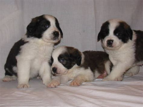 st bernard puppies for sale in ohio adorable ckc bernard puppies for sale adoption from salem ohio adpost