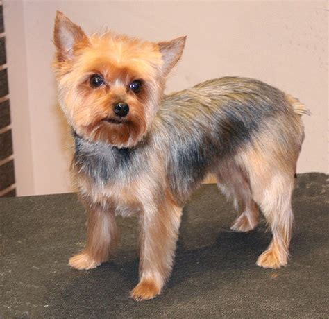 how to cut a yorkie s hair at home yorkie short trim groomer to groomer pet grooming