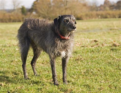 Lurcher Breed Info, Temperament, Puppies, Care, Training ...