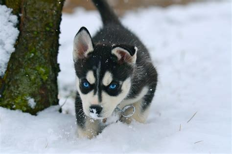 snow husky puppy snow siberian husky puppies