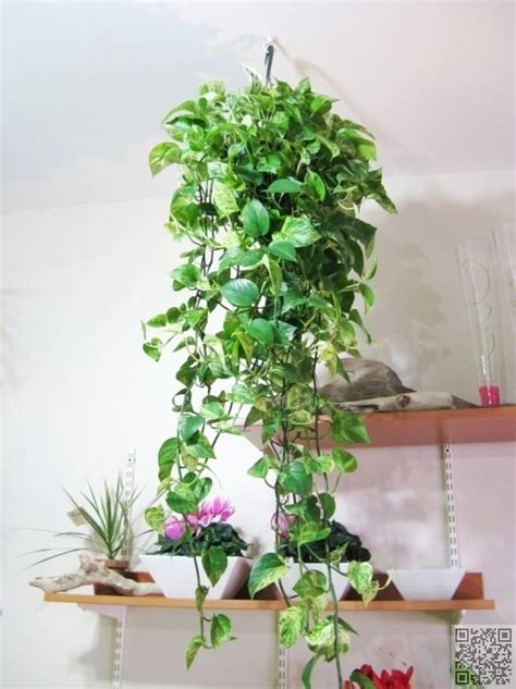 plants for home 24 trailing leaves 27 awesome indoor houseplants to