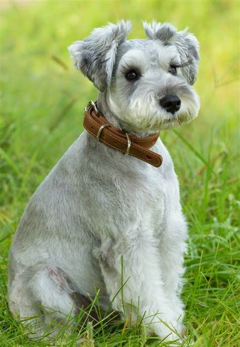 image gallery schnauzer haircuts adorable dog pinteres