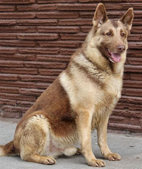 liver colored german shepherd 72 best liver blue gsd images on german