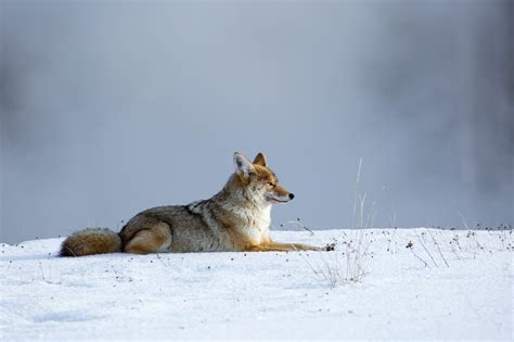 coyote resting   snow hd wallpaper background