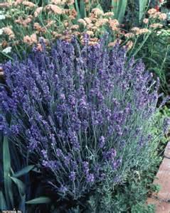 choosing lavender plants lavender varieties hgtv
