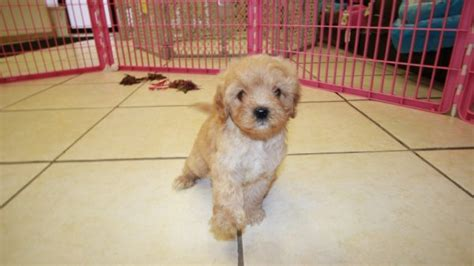 doodle puppies for sale in ga special miniature goldendoodle puppies for sale in atlanta