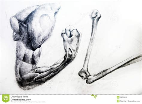 drawing studio free anatomy muscles drawing studio works royalty free stock