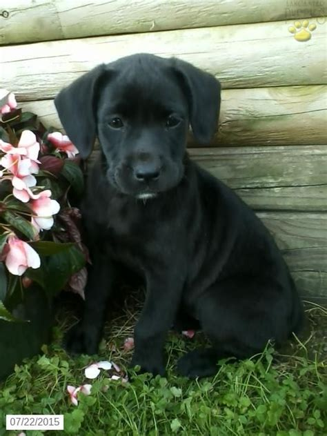 boxador puppies for sale the world s catalog of ideas