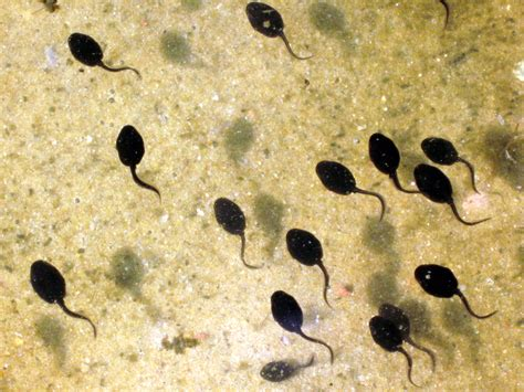images of tadpoles gm free scotland tadpole tails and roundup herbicide