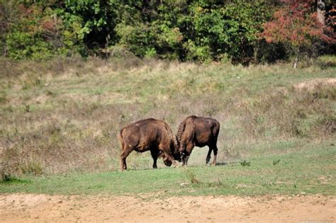 buffalo ram free image on 4 free photos