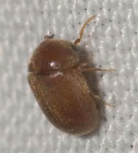Brown Carpet Beetles by Tiny Brown Beetle Lasioderma Bugguide Net