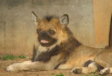 pugs lions pug pug