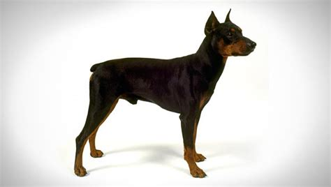 pinscher dogs german pinscher breed selector animal planet