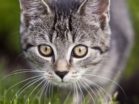 Cat Eye diseases of the in cats petmd
