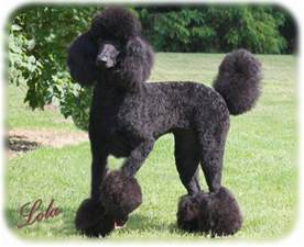 pictures of poodle haircuts countryside standard poodles referrals