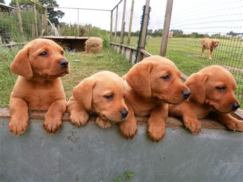 lab puppies for sale in pa fox lab puppies awww i never seen this color of