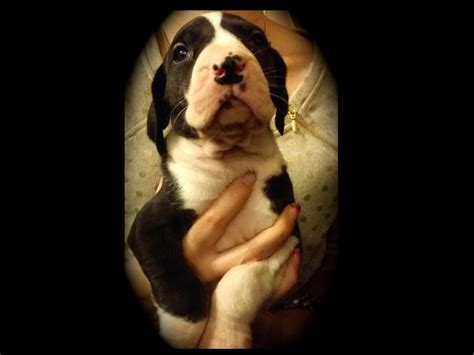 great dane puppies for sale in nj corgi puppies for sale in new jersey breeds picture