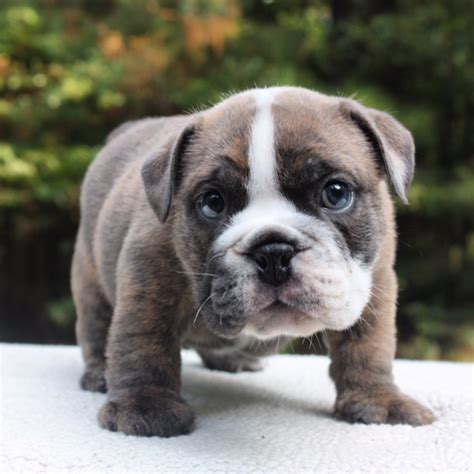 bulldog puppie bulldog puppies bulldog puppies atlanta s best breeder