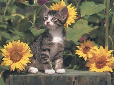 cat  sunflowers sunflower facts