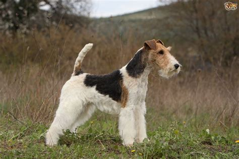 fox terrier fox terrier breed information buying advice photos and facts pets4homes