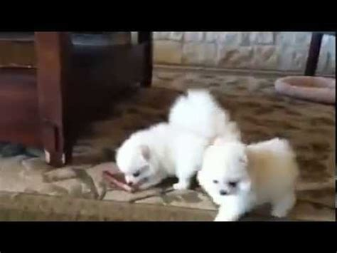 miniature pomeranian for sale in india and his fave funnydog tv