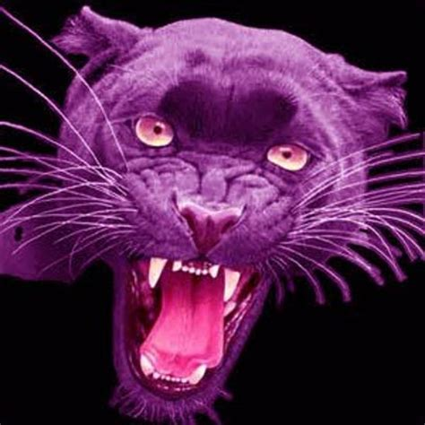 image gallery purple panther