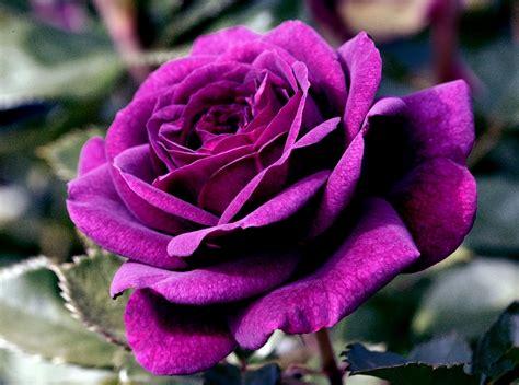Bunga Violces Pink gambar bunga mawar