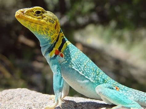 colorful lizard colorful lizards animals