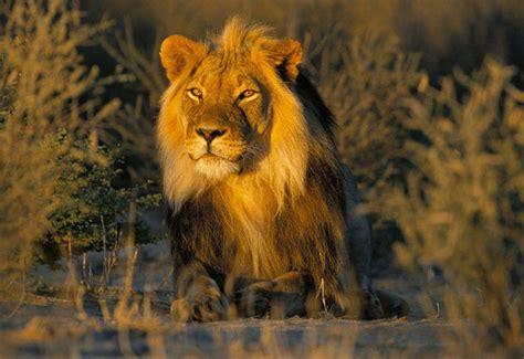 imagenes de leones felises enciclopedia animal animales del bosque le 243 n asi 225 tico