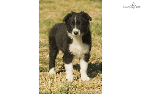 border collie puppies montana border collie puppies border collie breeders border collies for sale breeds picture
