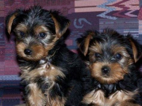 teacup yorkie allergies 42 best images about tea cup yorkies on allergies tea cups and yorkie