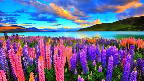 lupine color lupines on the lake hd wallpaper and background image