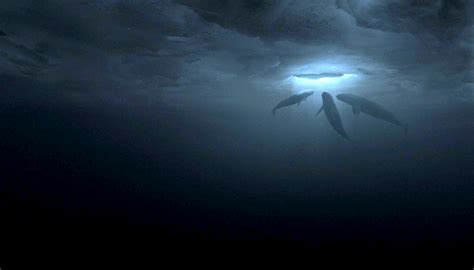 The Miracle Whales Big Miracle Blackfilm Read Blackfilm Read