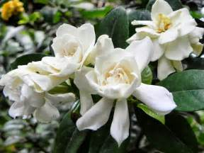 gardenia flowers romantic flowers gardenia flower
